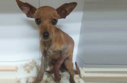 Cirurgia da Cachorrinha Belinha – Magnéticas em Ação!